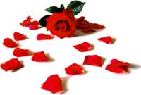 rose15_1.jpg